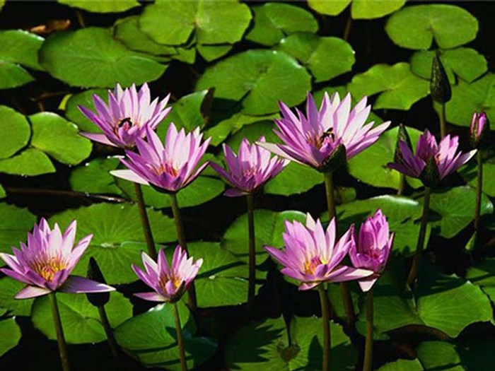 Water_lilies2